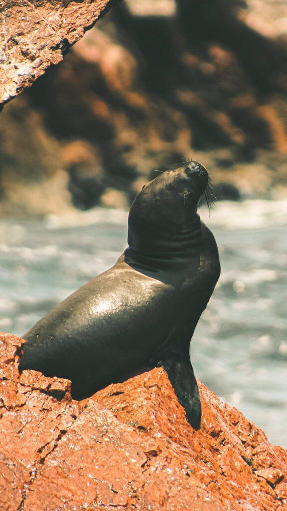 Ballestas islands wild life