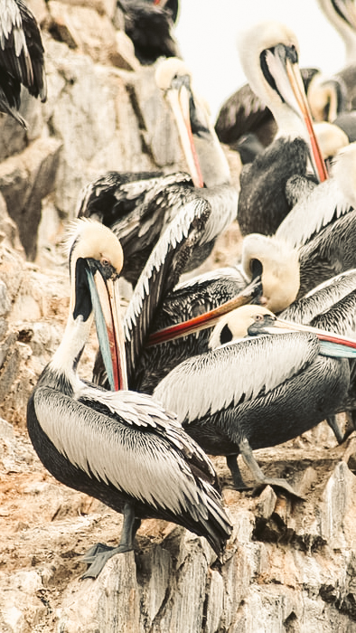 Ballestas islands wild life birds