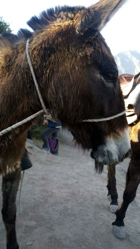 Colca Canyon donkey
