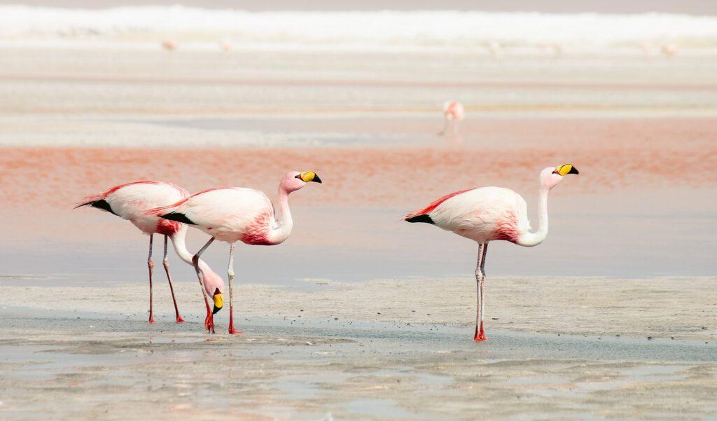 Isla Holbox flamingos