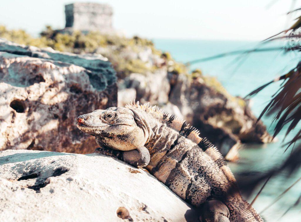Tulum mayas ruins iguanas