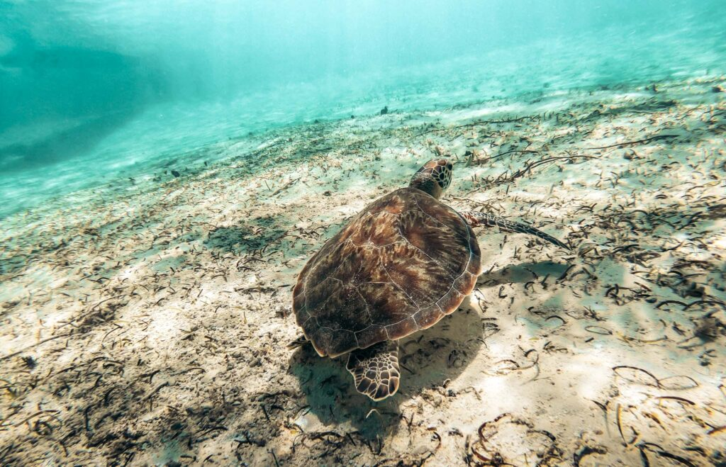 Tulum turtle
